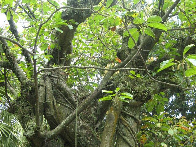 Ficus superba