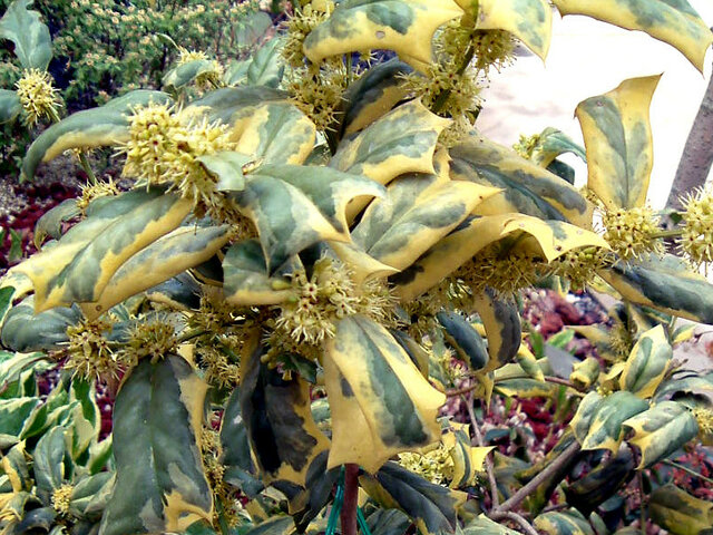 Variegated Chinese Holly