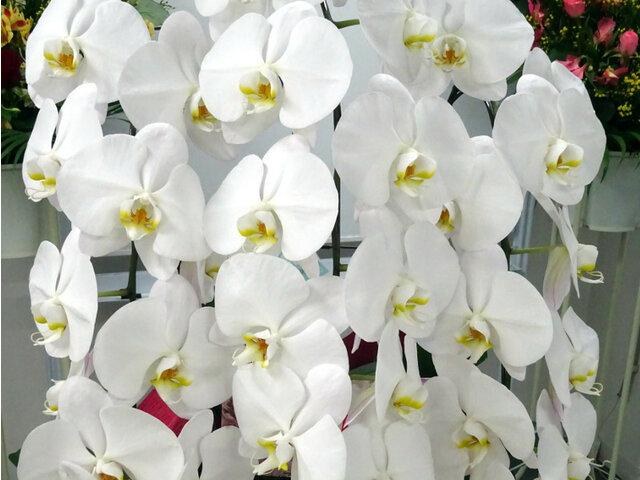 胡蝶蘭のブログ