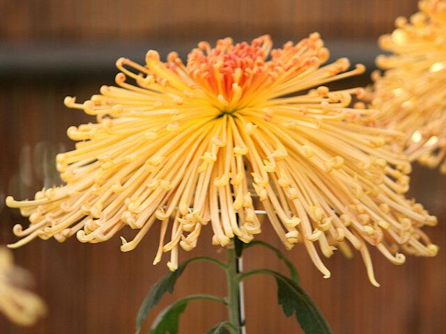 Sengou kourin (florists' daisy)
