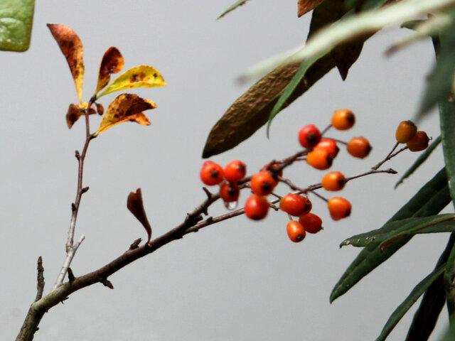 Pourthiaea villosa
