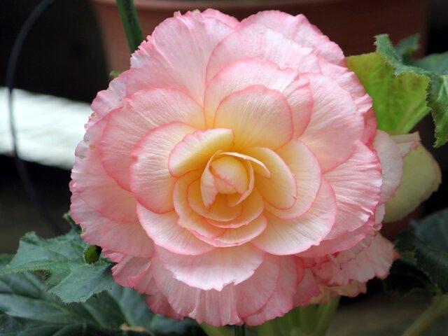 11月29日の誕生花 ベゴニア、茶の木