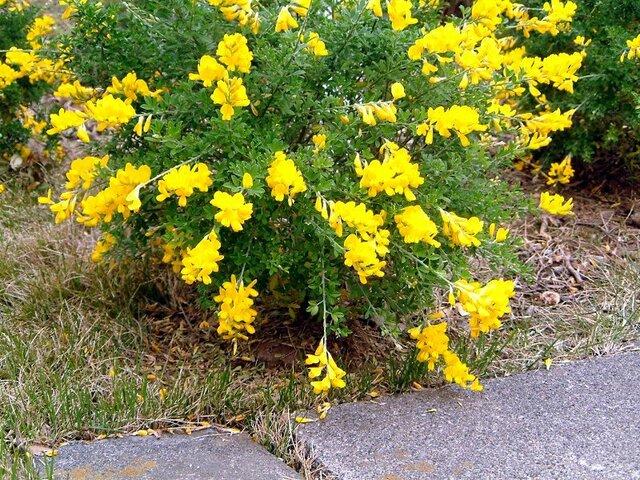 Common bloom