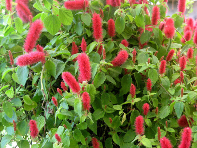 Acalypha cat tail