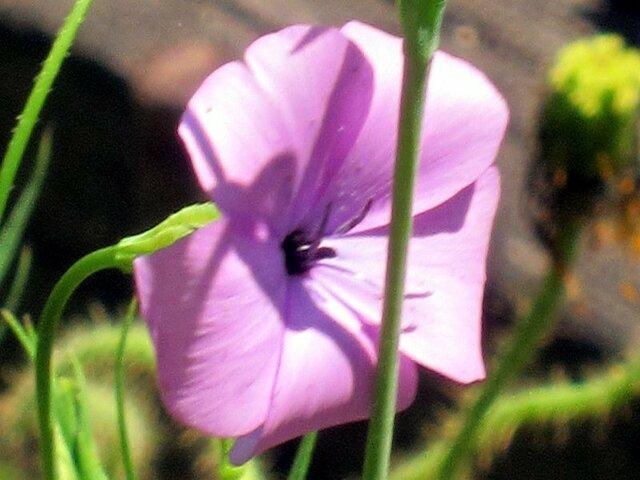Lychnis coelirosa