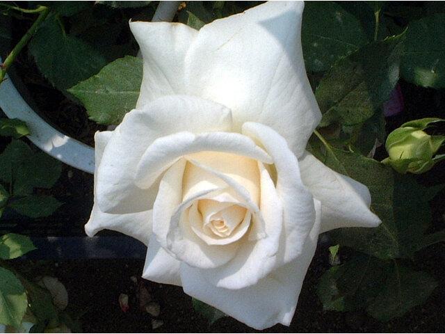 """薔薇 """"Bridal White"""""""