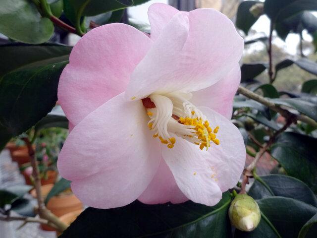Camellia 'Momotaro'