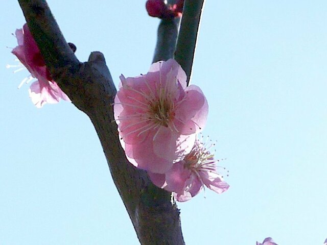 Prunus mume Fenhong Zhusac