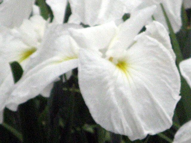 Japanese Iris 'Tsurunokegoromo'