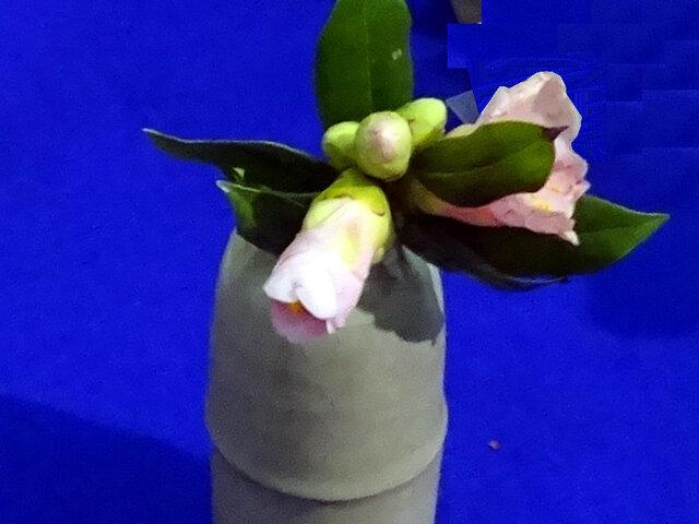 Camellia 'Momo-chidori'