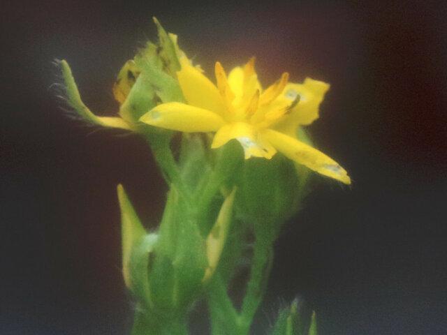 Hypoxis corchicifolia