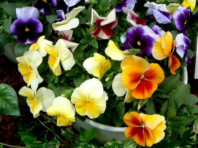 Pansy 'Bees mix'