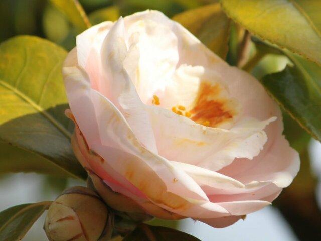 Camellia Dainagon