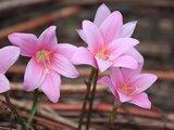 粉紅色的玉帘