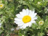 Chrysanthemum-North Pole