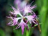 Dianthus longicalycinus