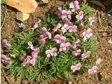 南山堇菜 '红花'