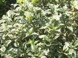 Fillichiraghi (variegated Holly)