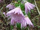 Chrysanthemum 'Enmeiraku'