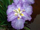 Japanese Iris 'Nuretsubame'