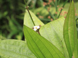 Amazon sword plant