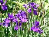Arctic Iris