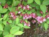 Weigela hortensis