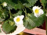 Garden strawberry