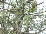 White poplars