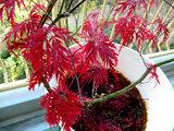 紅葉 紅枝垂