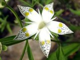 Double-spotted Swertia