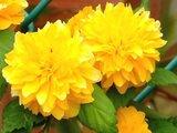 重瓣棣棠花