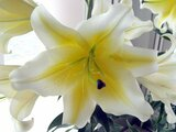 Lilium Oriental-Hybrids 'Manisa'