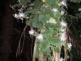 Trichosanthes