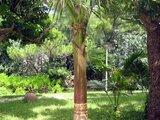 八重山棕榈
