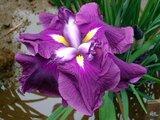 Japanese Iris 'Onigasima'