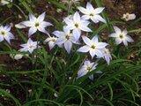Sspring starflower