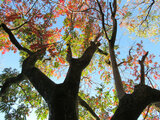 Japanese wax tree