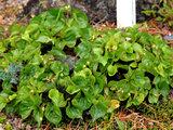 Viola brevistipulata