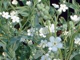 Omphalodes linifolia