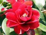 Camellia Kurotsubaki
