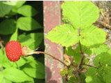 Rubus hisutus