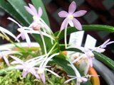 Orchid Nago