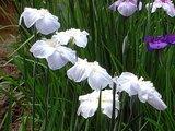 Japanese Iris 'Kosuinoiro'