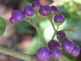 Japanese beautyberry