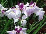 Japanese Iris 'Komachi musume'