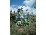 Agave franzosinii cactus