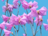Rhododendron mucronulatum ciliatum