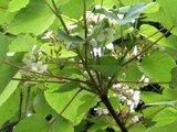 Aleurites montana