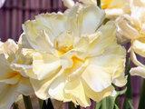 Tulip 'Avant Garde'